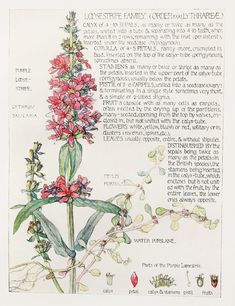 1910 Botanical Print by H. Isabel Adams: Loosestrife  Family, Purple Loosestrife, Water Purslane