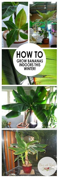How to Grow Bananas Indoors This Winter!| Growing Bananas Indoors, How to Grow Bananas, Indoor Gardening, Indoor Gardening Tips and Tricks, Grow Bananas In the Winter, Gardening, Plant Care, Tree Care and Tips, Popular Pin