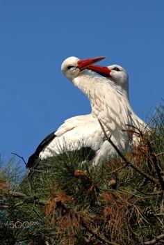 White Stork - Ooievaar