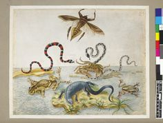 Examples of a bug, two snakes, two frogs, a crab and a lizard eating ants, from an album entitled 'Merian's Drawings of Surinam Insects &c'; the lizard on a small stretch of land, surrounded by water Watercolour and bodycolour, heightened with white (partly oxidised), on vellum. Attributed to: Dorothea Graff. Formerly attributed to: Maria Sibylla Merian. School/styleGerman. Date1710 (circa).