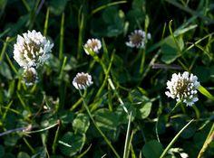 Witte klaver (cv) - Trifolium repens - Online bestellen bij Cruydt-Hoeck