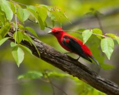 Male Scarlet Tanager