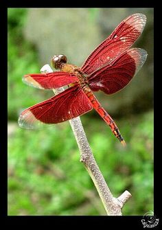 Gorgeous red Dragonfly ... wish we had these in Georgia USA!!!!
