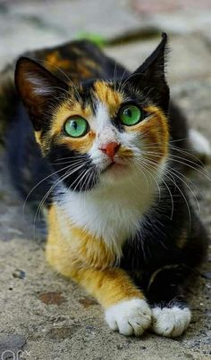 Calico cat cute cats and kittens Cute Cats And Kittens, I Love Cats, Crazy Cats, Cool Cats, Kittens Cutest, Pretty Cats, Beautiful Cats, Animals Beautiful, Cute Baby Animals