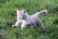 A white tiger cub is pictured on December 5, 2011 at the zoological park of Cerza in Hermival-les-Vaux, northern France. The three-year-old Lisa gave birth on October 8, 2011 to two white tigers belonging to a relatively rare species.