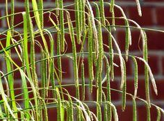 #Carex #pendula #sun #June