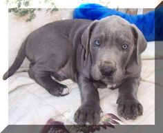 Blue great dane pup. oh my goodness!