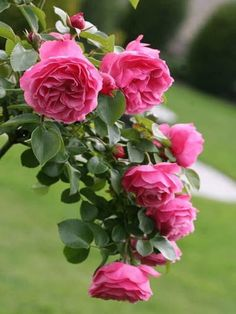 ✯ Leonardo da Vinci - this rose bush at the edge of the flower garden is spectacular right now!who says men don't know fleurs! Love Rose, My Flower, Pretty Flowers, Pink Flowers, Red Roses, Beautiful Roses, Beautiful Gardens, David Austin Roses, Coming Up Roses