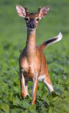 I always think of deer having short tails. Most species actually have fairly ridiculous ones.
