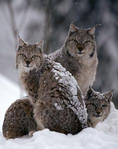 "Bobcats are found in forested, swampy, or semiarid regions of North America, from southern Canada to central Mexico. The bobcat is named for its short, ""bobbed"" tail and is related to the lynx."