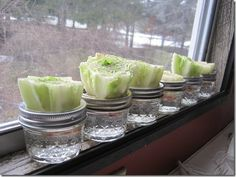 regrowing lettuce
