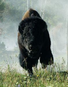 Charging Bison by rarefruitfan, via Flickr
