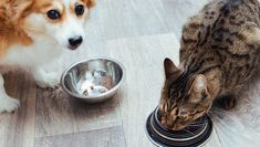 The short answer is no, dogs can't safely eat cat food. While technically cat food is very unlikely to be toxic or immediately harmful to your dog, there are significant differences between the nutritional requirements of dogs and cats. Dog Nutrition, Nutritional Requirements, Can Dogs Eat, Dog Eating, Cat Food, Dog Food Recipes, Your Dog, Dog Cat, Corgi