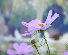Photograph of a pastel Pinky Purple Cosmos Flower, taken in the Botanic Gardens, Dublin, Ireland. Title: Cosmos  Available in 5x7, 8x10 and 8x12
