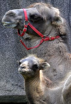 New baby camel at Milwaukee County Zoo...By:Eve'sNatureriplilyiloveyou