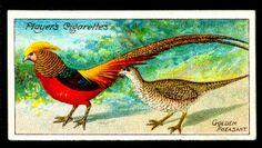 Cigarette Card - Golden Pheasant | Flickr - Photo Sharing!