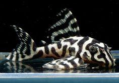 Tropical Fish Aquarium, Freshwater Aquarium Fish, Underwater Creatures, Ocean Creatures, Oscar Fish, Plecostomus, Cichlid Fish, Rare Fish, Betta Fish Tank