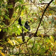 Malabar Pied-Hornbills aren't that shy when it's about stealing our mini bananas. #KoYaoNoi #Thailand.  #bird #hornbill #calao #birdspotting #jungle #birdwatching #wild #tropicalforest #luckymorning #couple #yellow #beak #casque #helmet #picoftheday #morningpic #pic #picture #photo #photography #photographer #art #artist #like #nature #instaday #picoftheday