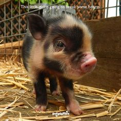 This little girl is going to break some hearts! #MicroPigs #Petpiggies #piglet #MiniPig #Pigs #BabyPig