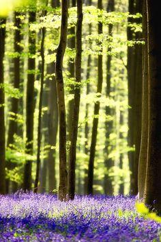 bluepueblo:  Spring Forest, Belgium photo via shnee