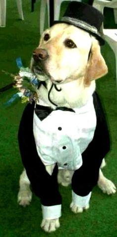 Labrador at wedding