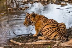 Watch who's watching you :-) Ranthambore nationalpark India, Watch, Animals, National Forest, Goa India, Clock, Animales, Animaux, Bracelet Watch