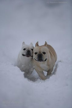 frenchies are so earnest when they run