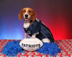 #Brady the Beagle! #Patriots
