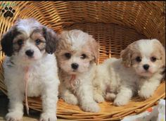 Cavachon Puppies! (Middle is love!!)