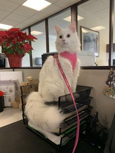 Update: As most predicted my sassy assistant is now running the office cats funny pictures I Love Cats, Crazy Cats, Cool Cats, Cute Animal Pictures, Funny Cat Pictures, Office Cat, Cat Quotes, Maine Coon Cats, White Cats
