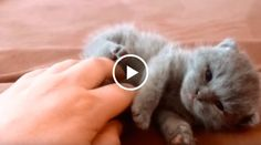 This Tiny British Shorthair Kitten Will Make Your Heart Explode From Cuteness