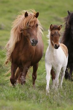 Icelandic horses                                                                                                                                                                                 More