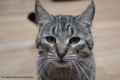 ChapaweeDreams Pixie Bob Cat