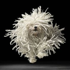 whirling Komondor!