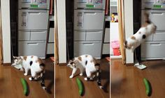 Hilarious cats scared of cucumbers. Don't try it with your pet! Cute Kitten Gif, Kittens Cutest, Cats And Kittens, Animal Fails, Cat Fails, Silly Cats, Funny Cats, I Love Cats, Pets