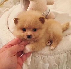 January 24 2016 at Tiny Puppies, Cute Puppies, Cute Dogs, Cute Babies, Cute Baby Animals, Animals And Pets, Funny Animals, Beautiful Dogs, Animals Beautiful