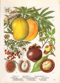 Vintage Fruit Botanical Print, Food Plant Chart, Art Illustration, Kitchen Decor Series, Mango