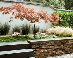 dwarf japanese maple landscaping - Google Search