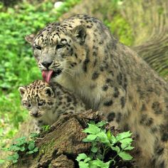 On April 29, three Snow Leopard kittens were born at the Austria's Zoo Salzburg – the fourth litter for 11-year-old female Mira and her 12-year-old mate, Shankar. Snow Leopards are one of the most endangered big cats on earth. Poaching, illegal trade, and habitat destruction threaten the survival of this majestic cat species in the wild. Experts estimate that only 3,500-7,000 Snow Leopards survive in the high mountain regions of Central Asia.