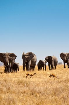 [ Giants, #Serengeti] These 10 unforgettable experiences are waiting for you in #Tanzania. #elephants #Africa #bucketlist