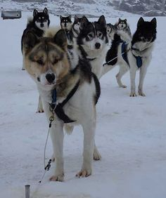 Heuberge 2016 Husky, Dogs, Animals, Hay, Animales, Animaux, Animal Memes, Husky Dog, Animal