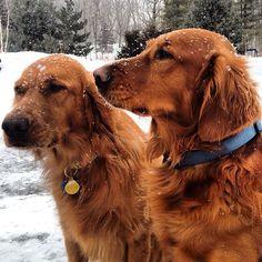 Kodi & Bucky. #dog dogs #katanddog #golden #goldens #retriever #retrievers #goldenretriever #goldenretrievers