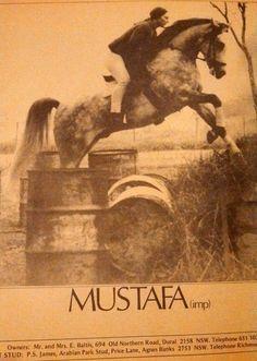 """""""Mustafa.   (Hadban Enzahi x Masarrah( """""""