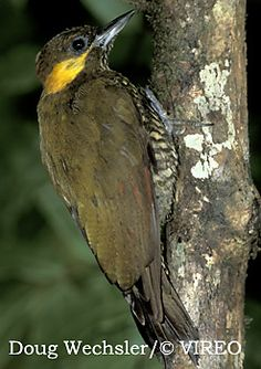 Lita Woodpecker, Columbia & Ecuador