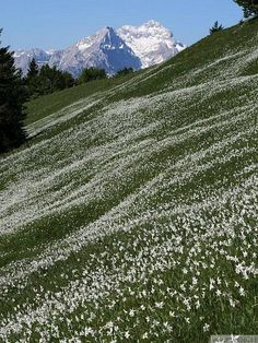 Thousands of white daffodils on the slopes of Golica, Slovenia