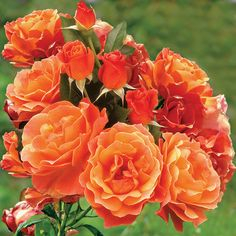 Livin' Easy™ Floribunda Rose Resistant to Black Spot! Stunning Color and Heady Scent! Floribunda Roses, Shrub Roses, Hearts And Roses, Red Roses, Orange Flowers, Simple Rose, Easy Rose, British Rose, Foundation Planting