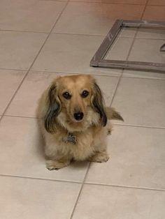 Dapple Dachshund, Miniature Dachshunds, Miniatures, Dogs, Animals, Animales, Animaux, Doggies, Mockup