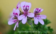 Aρμπαρόριζα – Pelargonium graveolens Greek Flowers, Forest Mountain, Tree Forest, Flowering Trees, Geraniums, Landscape, Garden, Plants, Forests