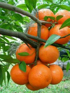 Fairchild Mandarin is a bright orange-colored mandarin both inside and outside Colorful Fruit, Exotic Fruit, Tropical Fruits, Fruit Plants, Fruit Garden, Fruit Trees, Fresh Fruits And Vegetables, Fruit And Veg, Beautiful Fruits