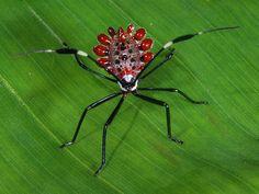 A rainforest jewel; a juvenile of a coreid bug (Hemiptera, Coreidae, Spartocerini: Molchina sp)Yasuni NP, Ecuador